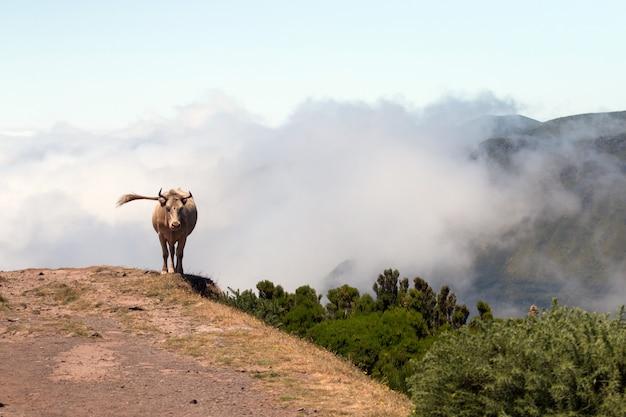 Krowa w pobliżu urwiska