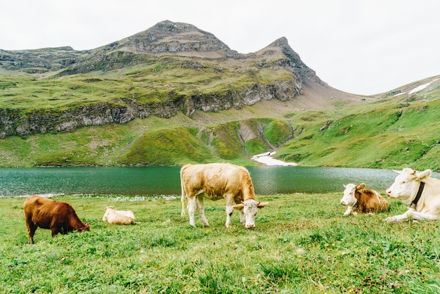 Krowa w szwajcarii alpy górskie grindelwald first