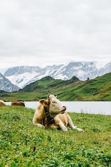 Krowa w szwajcarii alpy górskie grindelwald najpierw
