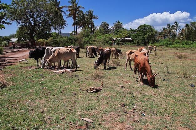 Krowa w wiosce tanzania, afryka