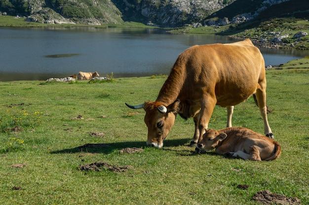 Krowa z wypasaniem cieląt w jeziorach covadonga w hiszpanii