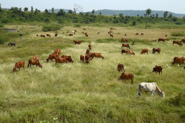 Krowy i byki pasą się na bujnym trawiastym polu