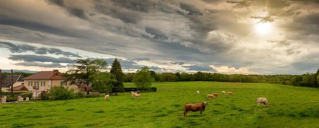 Krowy i groźne zachmurzone niebo. groźne chmury nad krajobrazem