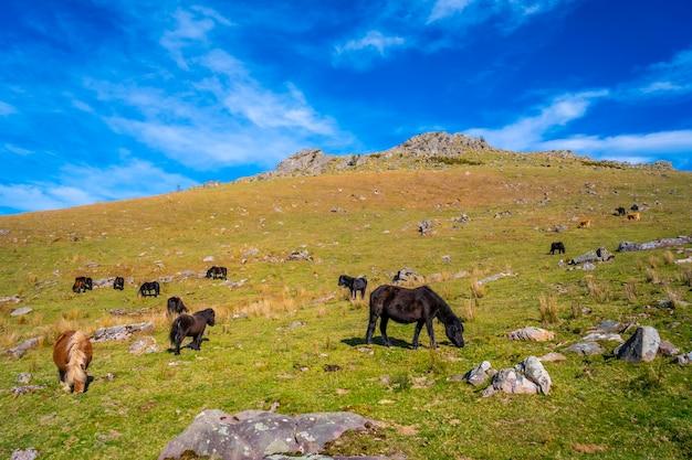 Krowy i wolne konie na szczycie góry adarra w guipuzcoa. kraj basków