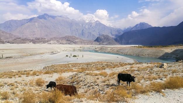 Krowy je trawy przy poboczem w skardu, pakistan.