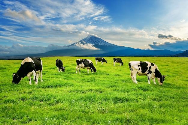 Krowy jedzą bujną trawę na zielonym polu przed górą fuji, japonia.