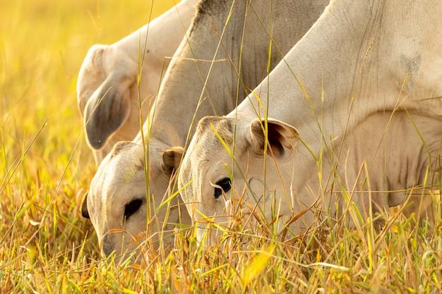 Krowy jedzą na pastwisku o zachodzie słońca.