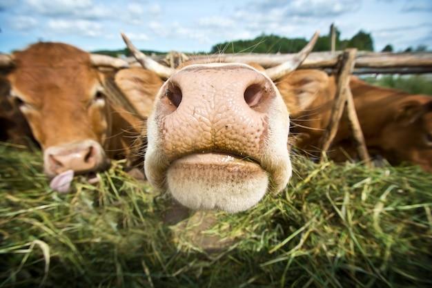Krowy jedzą słomę.