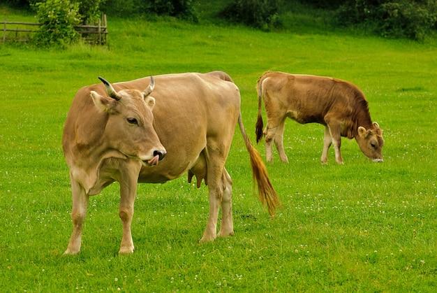Krowy liżą się, a latem pasą się cielęta na trawie z żółtymi kwiatami