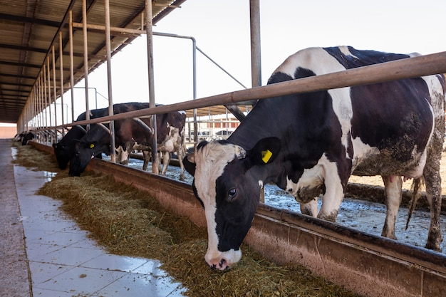 Krowy mleczne w gospodarstwie. nowoczesna obora gospodarstwa z krowami udojowymi jedzącymi siano