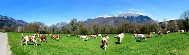 Krowy na łące