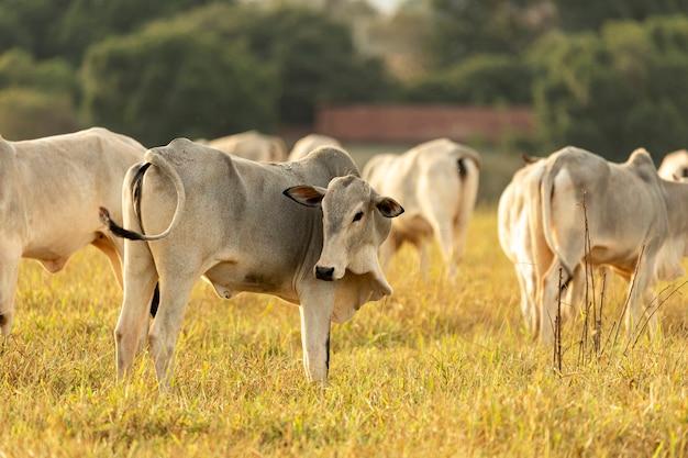 Krowy na pastwisku o zachodzie słońca.