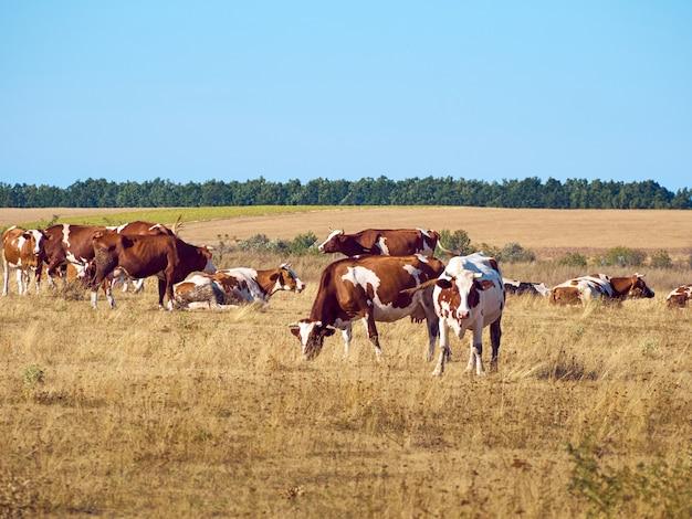 Krowy na pastwisku.