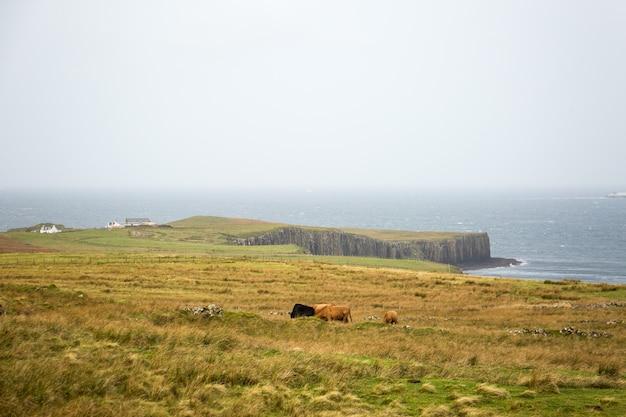 Krowy na szkockim krajobrazie