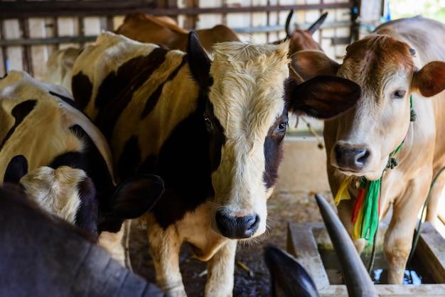 Krowy na targach bydła