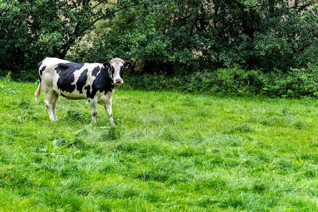 Krowy na trawie