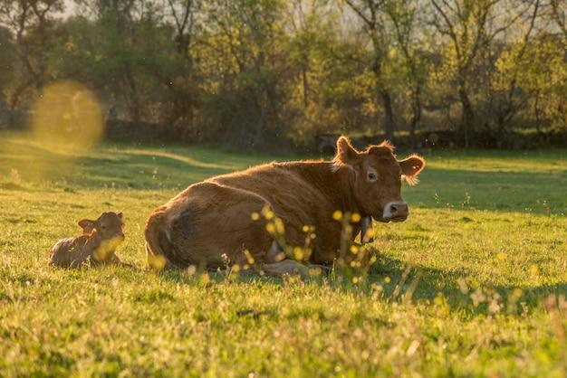 Krowy na wiosnę zielona łąka