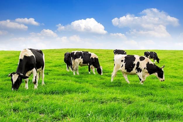 Krowy na zielonym polu i niebieskim niebie