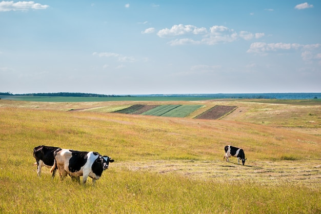 Krowy na zielonym polu i niebieskim niebie.