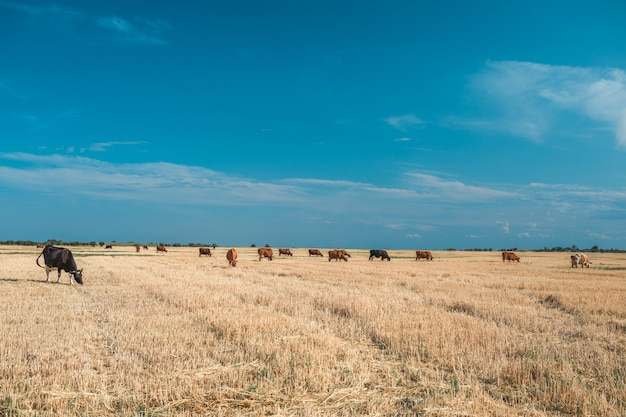 Krowy na żółtym polu i niebieskim niebie.