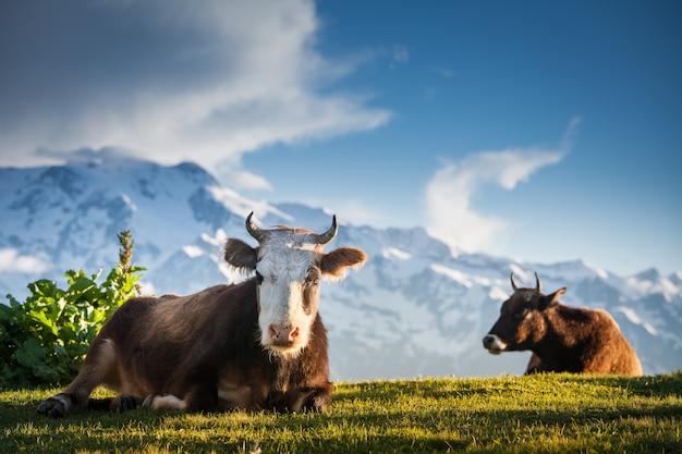 Krowy odpoczywają na alpejskich wzgórzach w promieniach słońca