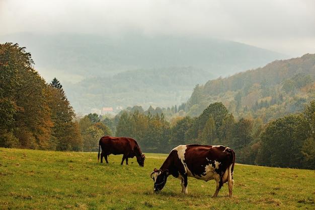 Krowy pasą się jesienią na łące górskiej w sudetach