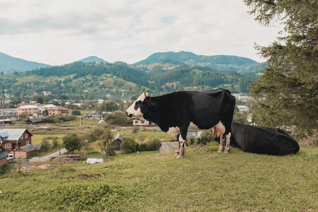 Krowy pasą się na łące w górach kaukazu.