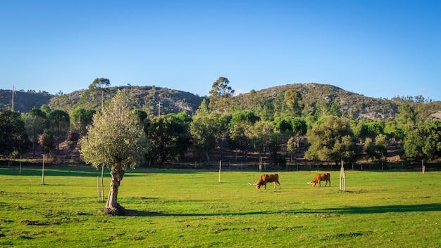 Krowy pasą się na trawiastym polu otoczonym pięknymi zielonymi drzewami w ciągu dnia