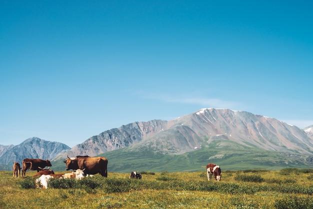 Krowy pasą się na użytkach zielonych w dolinie przed cudownymi gigantycznymi górami w słoneczny dzień.