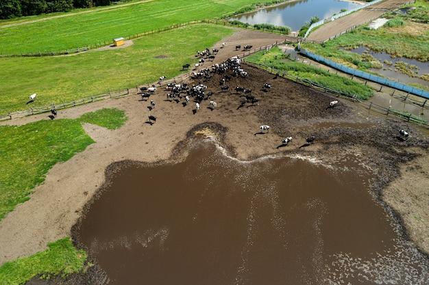 Krowy pasą się na widoku z góry gospodarstwa hodowlanego