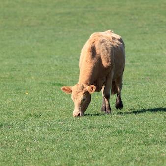 Krowy pasą się na zielonej łące w słoneczny dzień