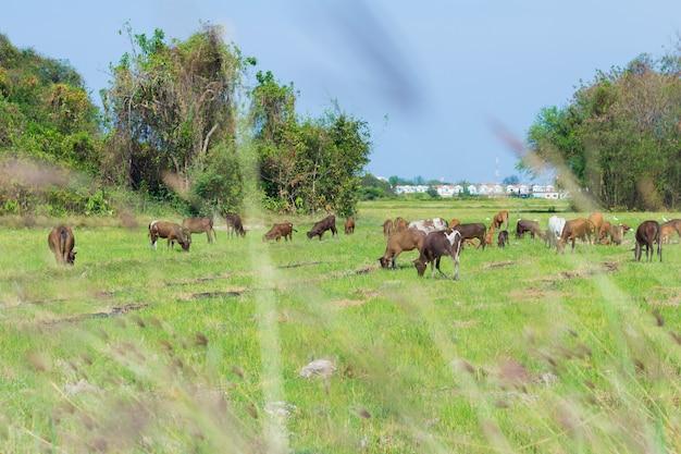Krowy pasące się na farmie z zielonego pola w dzień dobrej pogody