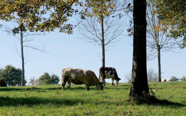 Krowy pasące się na łące z drzewami