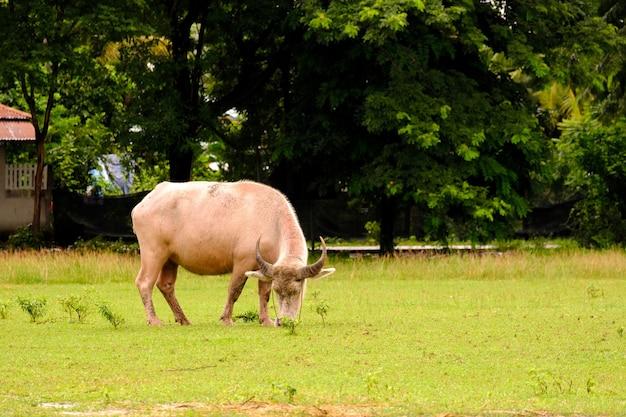 Krowy pasące się na łące