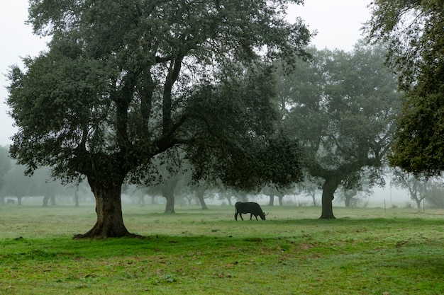Krowy pasące się na pastwiskach