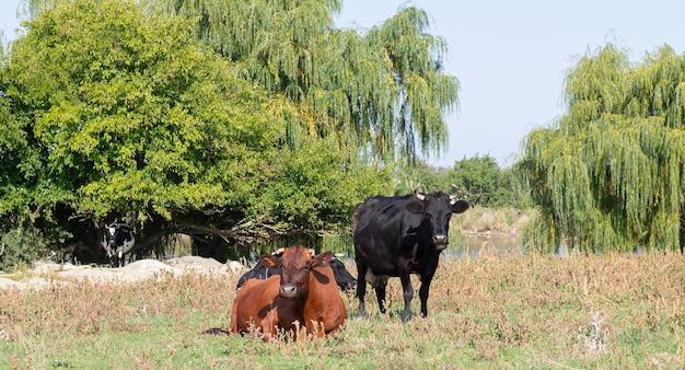 Krowy pasące się na pastwisku letnim w gospodarstwie rolnym