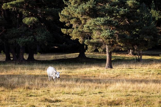 Krowy pasące się na polu trawy