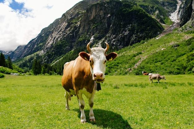 Krowy pasące się na zielonym polu. krowy na alpejskich łąkach. piękny krajobraz alpejski
