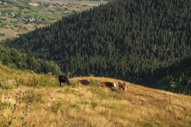 Krowy pasące się w cieście górskim