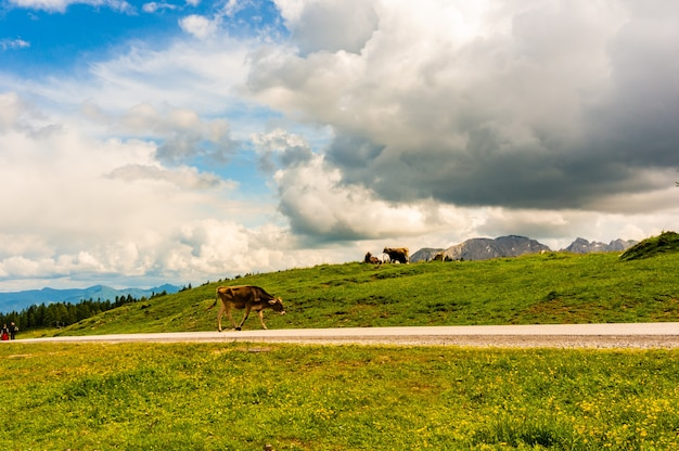 Krowy pasące się w dolinie w pobliżu gór alp w austrii pod zachmurzonym niebem