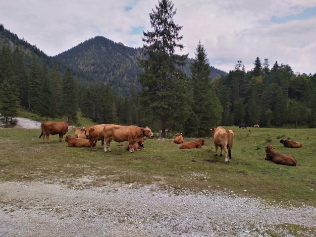 Krowy pasące się w górach w pobliżu lasu