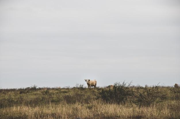 Krowy pasące się w otwartym polu