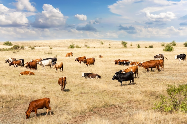 Krowy różnych ras pasą się na polu z żółtą suchą trawą.