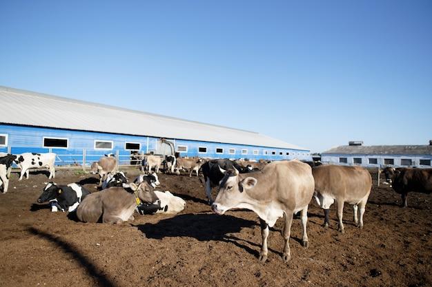 Krowy w gospodarstwie. krowy mleczne w gospodarstwie.