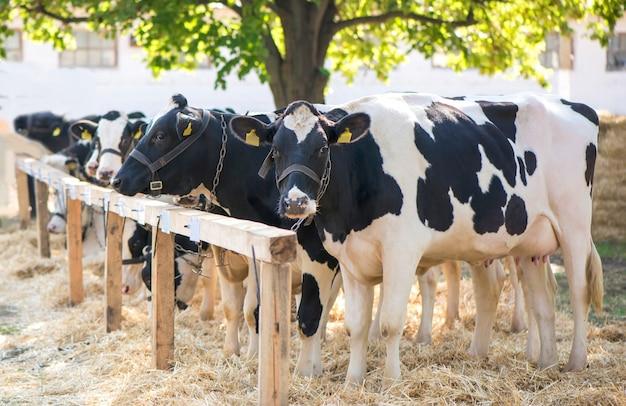 Krowy w gospodarstwie