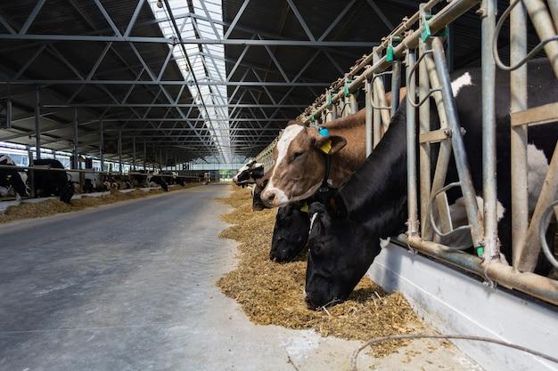 Krowy w nowoczesnym gospodarstwie jedzą kiszonkę ze stołu paszowego
