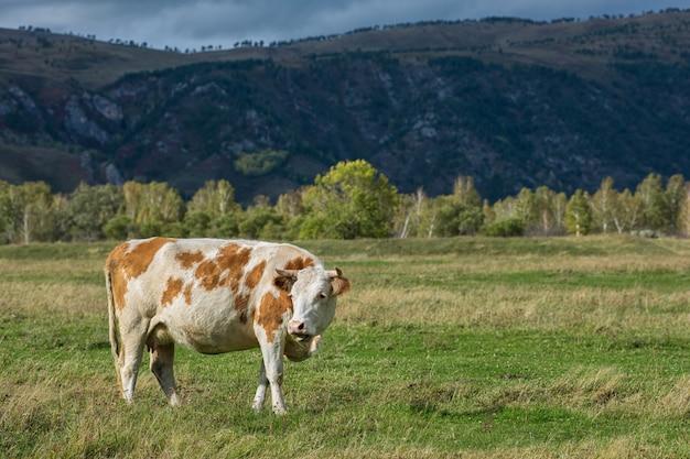 Krowy w trawie