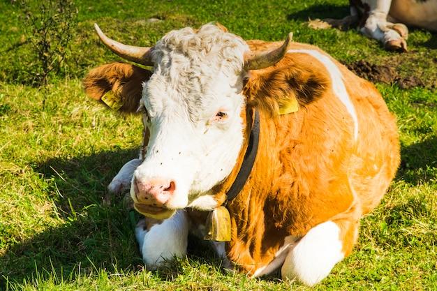 Krowy w zielonych łąkach alps