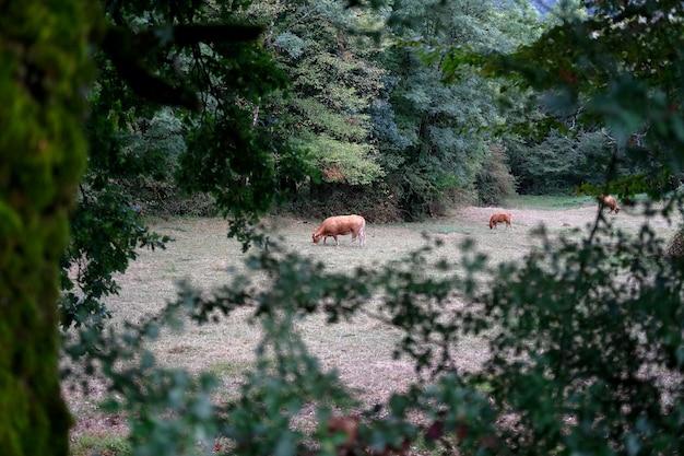 Krowy wędrujące po lesie