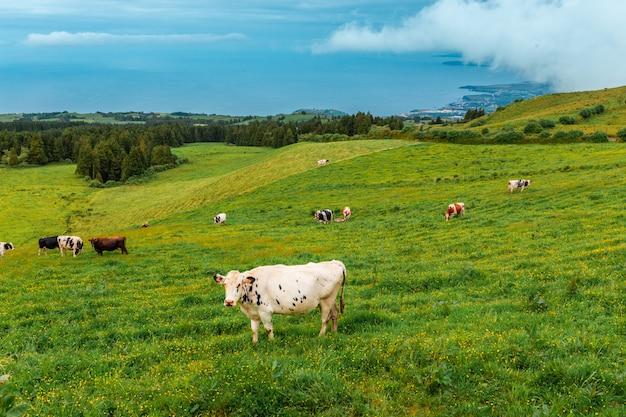 Krowy z wyspy san miguel. azory. portugalia. krowy leżą na zielonej trawie. w oddali widać brzeg oceanu atlantyckiego.